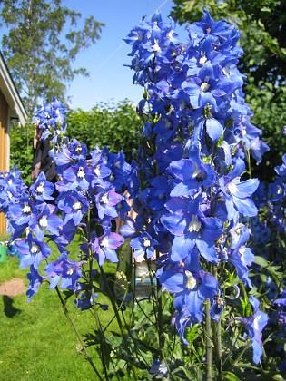 Riddarsporrar &nbsp 2009-07-17 IMG_0052 Granudden Färjestaden Öland