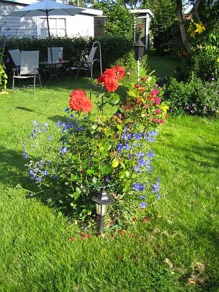 Rosbusken Under rosbusken finns Riddarsporre 'Sky Lights' 2009-07-17 IMG_0155 Granudden Färjestaden Öland
