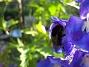 Riddarsporre  2009-07-17 IMG_0108