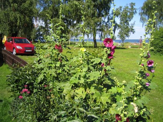 Stockros &nbsp 2009-07-23 IMG_0026 Granudden Färjestaden Öland