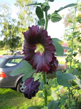 Stockros &nbsp 2009-08-07 IMG_0107 Granudden Färjestaden Öland