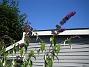 Syrenbuddleja  2009-08-07 IMG_0085
