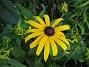 Rudbeckior  2009-08-07 IMG_0104