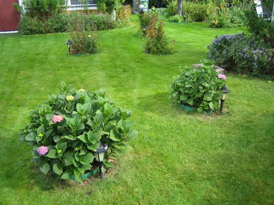 Hortensia { Mina hortensior är inte så värst blomvilliga och sena är de också. }