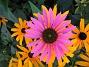 Solhatt Härligt lysande färger! 2009-09-05 IMG_0005