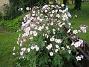 Grannens Höstanamon Grannen har en helt underbar Höstanemon. Jag har en också men den för en mera tynande tillvaro. 2009-09-05 IMG_0015