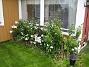 Vinkel Höstflox som har blommat i nästan 1½ månad nu. 2009-09-05 IMG_0024