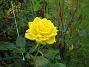 Ros En av de rosor som jag köpte på ICA (!) vid jul. 2009-09-05 IMG_0031