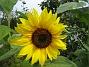 Solros Solrosorna blev riktigt höga och har låtit vänta på sig. 2009-09-05 IMG_0056