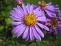 Aster  2009-09-05 IMG_0062