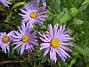 Aster  2009-09-05 IMG_0064