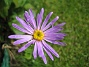 Aster  2009-09-05 IMG_0066