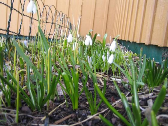 Snödroppar &nbsp 2010-04-02 011 Granudden Färjestaden Öland