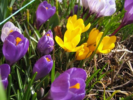Krokus &nbsp 2010-04-02 028 Granudden Färjestaden Öland