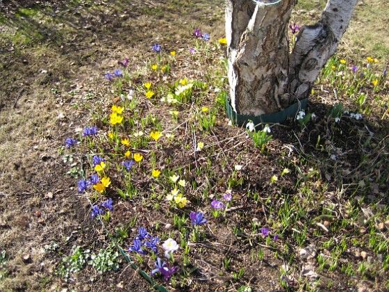 Krokus &nbsp 2010-04-02 037 Granudden Färjestaden Öland