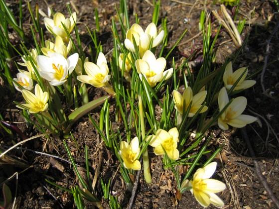 Krokus &nbsp 2010-04-02 049 Granudden Färjestaden Öland