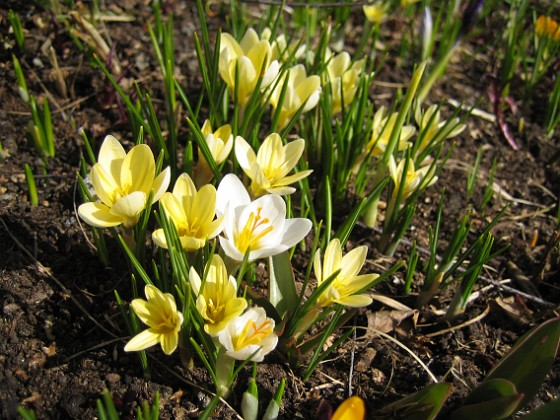 Krokus  2010-04-02 061 Granudden Färjestaden Öland