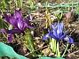 Iris  2010-04-02 021
