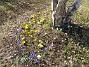 Krokus  2010-04-02 037