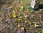Krokus  2010-04-02 055
