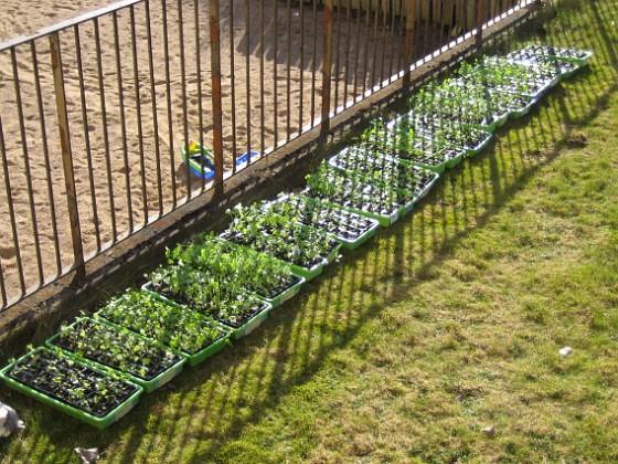 Utomhusodling Förra helgen hade jag mina plantor ute i solen (och blåsten).&nbsp 2010-04-16 IMG_0069 Granudden Färjestaden Öland