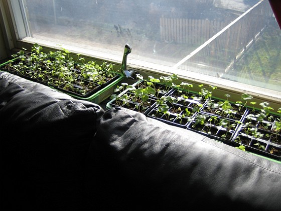 Inomhus igen Här i vardagsrummet står två av mina tre lådor med Trädgårdsriddarsporre.&nbsp 2010-04-16 IMG_0070 Granudden Färjestaden Öland
