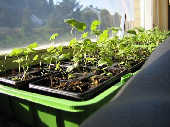 Trädgårdsriddarsporre Här i vardagsrummet står två av mina tre lådor med Trädgårdsriddarsporre.&nbsp 2010-04-16 IMG_0071 Granudden Färjestaden Öland
