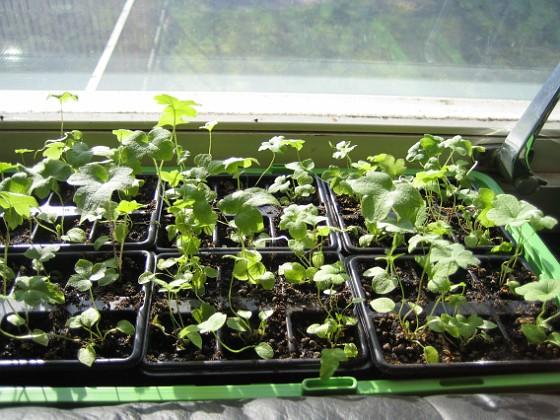 Trädgårdsriddarsporre Här i vardagsrummet står två av mina tre lådor med Trädgårdsriddarsporre.&nbsp 2010-04-16 IMG_0072 Granudden Färjestaden Öland