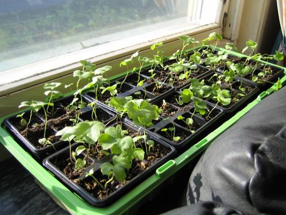 Trädgårdsriddarsporre Här i vardagsrummet står två av mina tre lådor med Trädgårdsriddarsporre.&nbsp 2010-04-16 IMG_0073 Granudden Färjestaden Öland