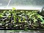Trädgårdsriddarsporre Här i vardagsrummet står två av mina tre lådor med Trädgårdsriddarsporre. 2010-04-16 IMG_0072