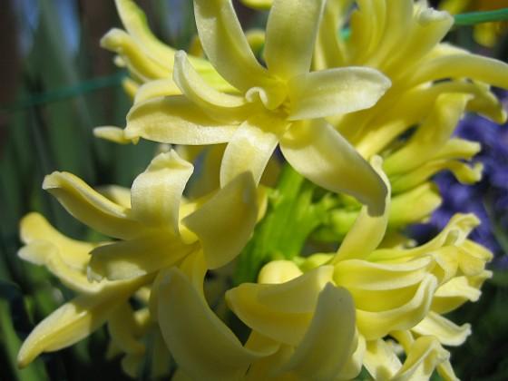 Hyacint {  }