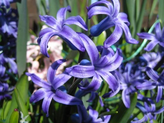 Hyacint  2010-05-02 033 Granudden Färjestaden Öland