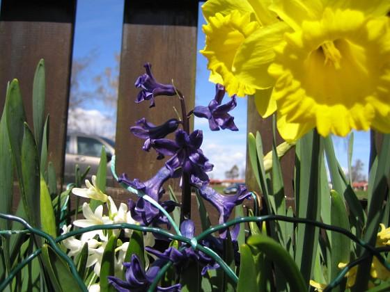 Påsklilja & Hyacinter {  }