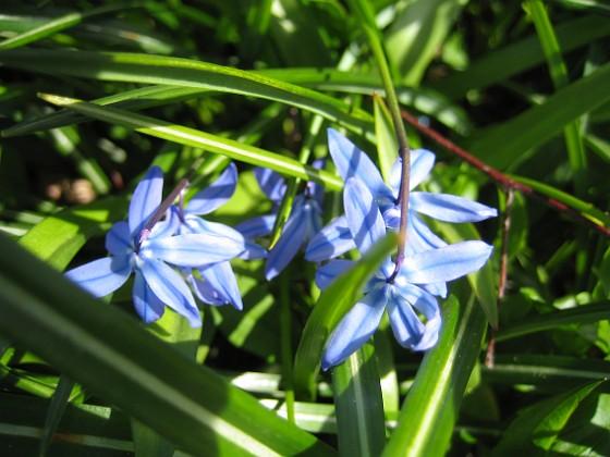 Vårstjärna  2010-05-02 071 Granudden Färjestaden Öland