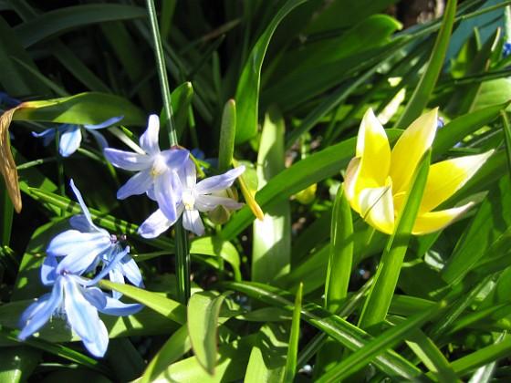 Vårstjärna och Flocktulpan  2010-05-02 072 Granudden Färjestaden Öland