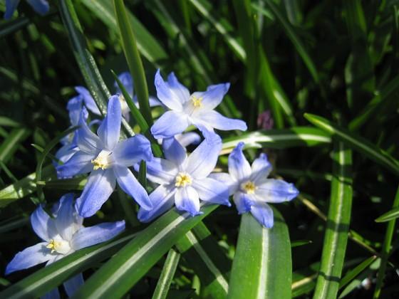 Vårstjärna  2010-05-02 073 Granudden Färjestaden Öland