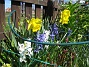 Påsklilja & Hyacinter  2010-05-02 006