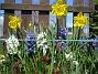 Påsklilja & Hyacinter  2010-05-02 008