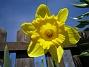 Påsklilja  2010-05-02 013