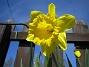 Påsklilja  2010-05-02 015