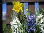 Påsklilja & Hyacinter  2010-05-02 018