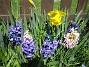 Påsklilja & Hyacinter  2010-05-02 023