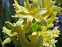 Hyacint  2010-05-02 032