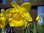 Påsklilja  2010-05-02 045