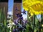 Påsklilja & Hyacinter  2010-05-02 048