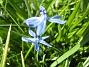 Vårstjärna  2010-05-02 068