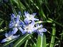 Vårstjärna  2010-05-02 073