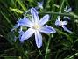 Vårstjärna  2010-05-02 074