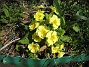 Primula  2010-05-02 095