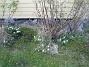 Vitsippor  2010-05-02 111
